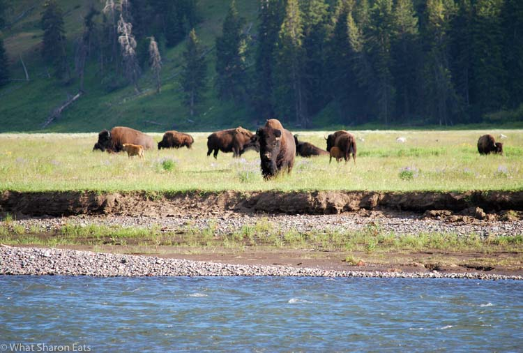 Yellowstone Wildlife